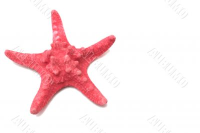 Red sea stars on a white background