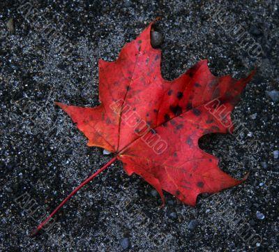 Red Leaf on Gravel
