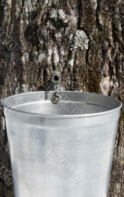 Droplet of sap flowing into a pail to produce maple syrup