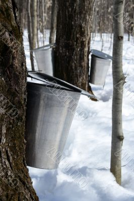 Collecting maple sap to produce syrup