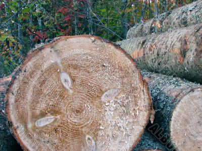 Pile of pine tree logs in the forest
