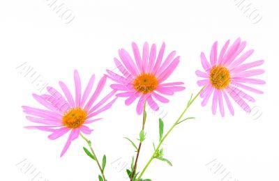 Three magenta gerbera daisies