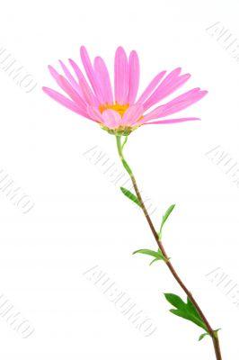 Delicate gerbera daisy