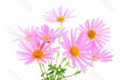 Bouquet of magenta gerbera daisies