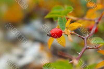 dogrose berry closeup