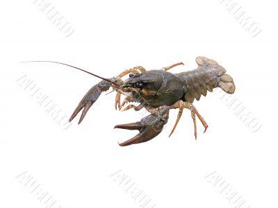 Crawfish on white background