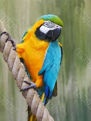 Parrot, Blue-and-gold Macaw
