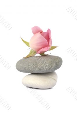 Rose on stones in balance isolated on white