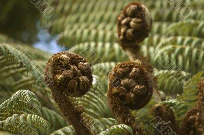 Silvern fern new leaves - koru