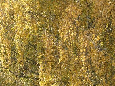 autumn scene: coloured leaves
