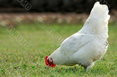 Hen eating in an open field
