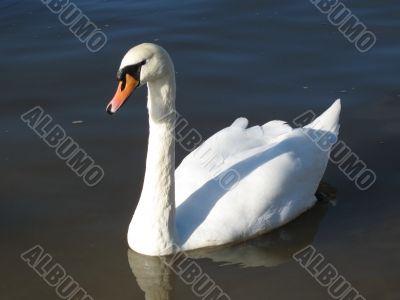 a graceful swan
