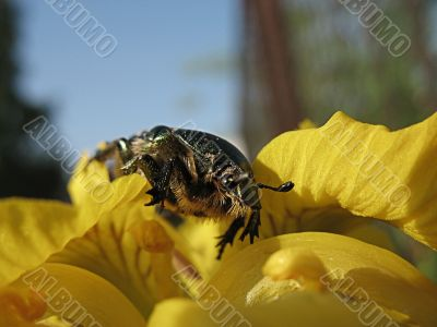 Brilliant bug on yellow flower