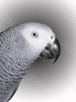 African Gray Portrait