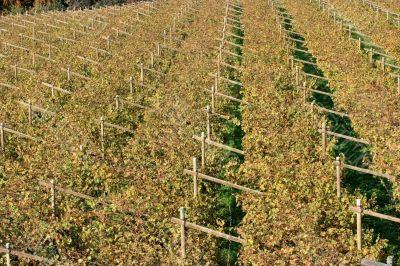 Autumnal Vineyard pattern