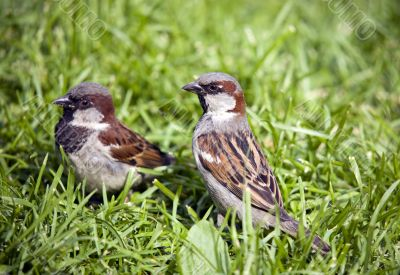 Two sparrows in a grass