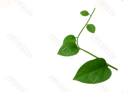 Elegant green ivy twig over white background