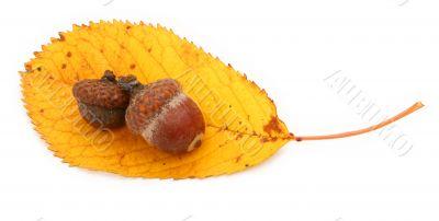 acorns and dry fall leaf