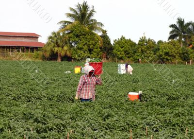 Migrant farm workers picking crops in the fields