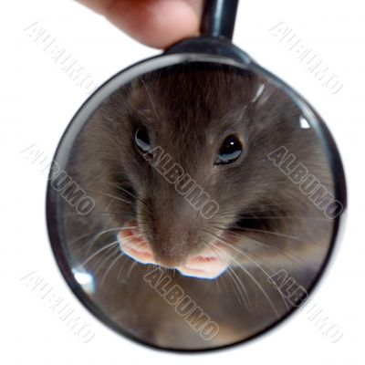 magnifying glass focused on rat`s nose