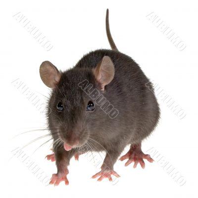 rat`s tongue