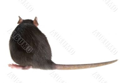 rat`s back