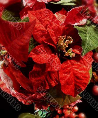 Festive Christmas Poinsettias