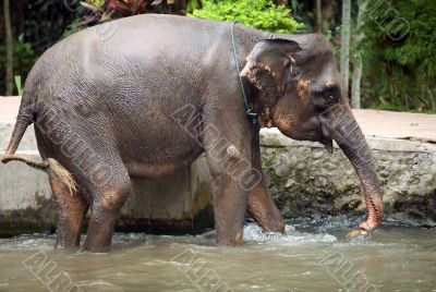 The elephant in water