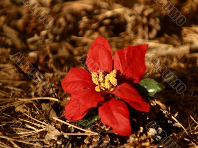 Red Poinsettia Bloom