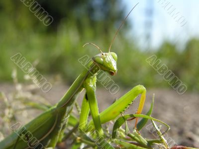 an insect is a mantes