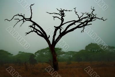 Misty Maasai Tree