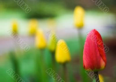 Red tulip among the others