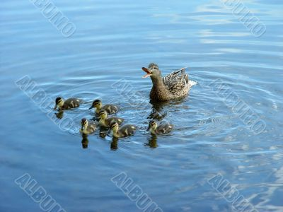 Mother duck with newborn duckling