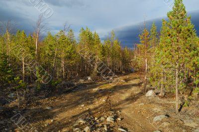 Road amongst  pines