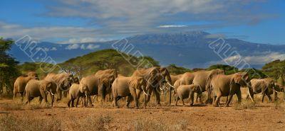 Kilimanjaro Elephant Herd