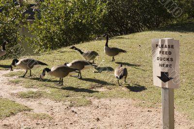Feed Ducks Here