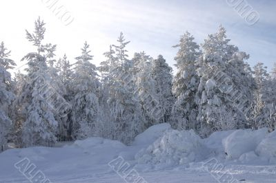 fur-trees and pines covered by a snow