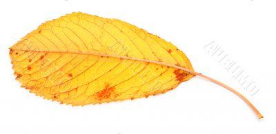 yellow dry fall leaf