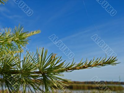 A pine branch against a blue sky