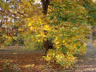 Autumn tree. A chestnut