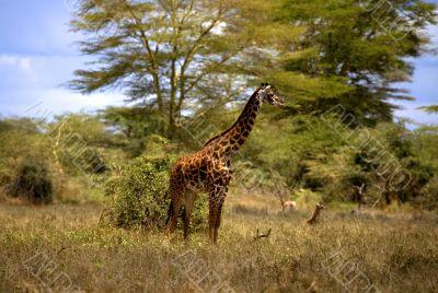 African Giraffe In Kenya