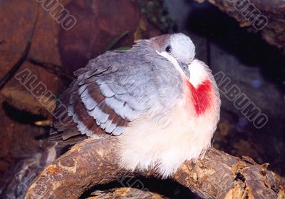 Pigeon with a red pattern on a breast
