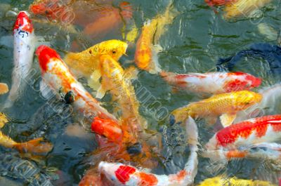 Colorful Koi Fishes in pond
