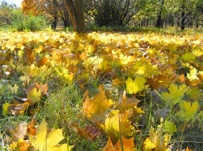 Yellow autumn maple leaves on the ground