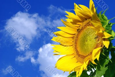 nice yellow suflower on a blue sky background