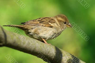 little sparrow with yellow beak
