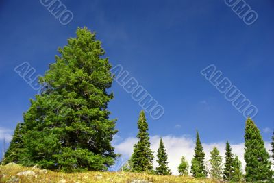 Isolated conifer against blue sky