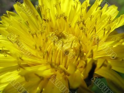 Petals of a dandelion close up
