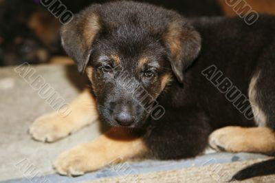 German Shepher Puppy
