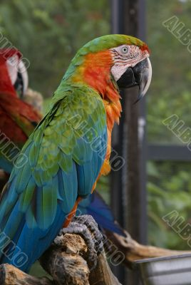 Colorful exotic Parot macaw